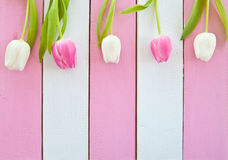 Fresh tulips on pink and white Royalty Free Stock Photos