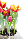 Fresh tulips in pot Stock Image