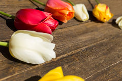 Fresh tulips on a rustic wooden background Stock Images