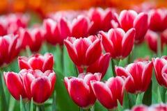Fresh tulips in warm sun light Royalty Free Stock Photos