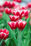 Fresh tulips in warm sun light Royalty Free Stock Images