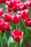 Fresh tulips in warm sun light Stock Photography