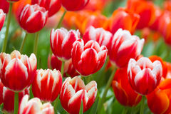 Fresh tulips in warm sun light Royalty Free Stock Image