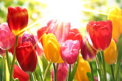 Fresh tulips in warm sunlight Stock Photo