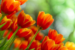 Fresh tulips in warm sunlight Stock Photo