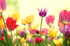Fresh tulips in warm sunlight Royalty Free Stock Photo
