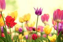 Fresh tulips in warm sunlight Royalty Free Stock Photo