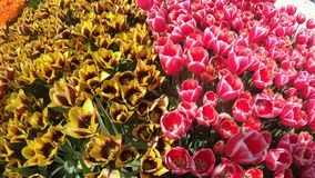 Fresh tulips in warm sunlight stock footage