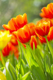 Fresh tulips in warm sunlight Royalty Free Stock Photography