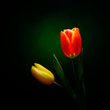 Fresh tulips with water drops Royalty Free Stock Images