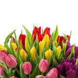Fresh tulips white background Spring flowers Stock Photos