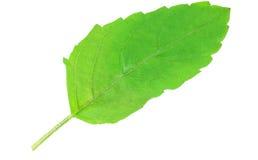 Fresh Tulsi leaf. Over white background Stock Photo