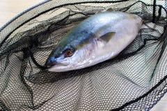 Fresh tuna fish has got to the net royalty free stock photography