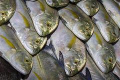 Fresh Tuna fish at market. Freshly caught Tuna at Asian fish market royalty free stock photo