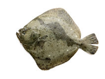 Fresh Turbot Royalty Free Stock Image