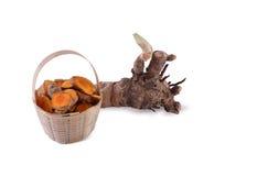 Fresh turmeric root. Stock Photos