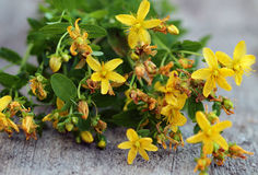 Fresh  Tutsan herb close up on wooden table. Fresh Yellow Tutsan herb close up on wooden table Stock Photos