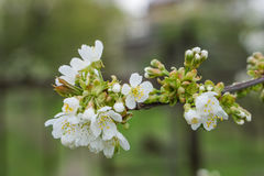 A fresh twig blooming tree, a background of soft defocus. A fresh twig blooming tree, a background of soft defocus, spring concept Stock Photography