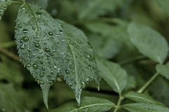 Fresh twig cover with raindrop at Petrohan passage Stock Images