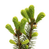 Fresh twig of fir Royalty Free Stock Images