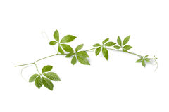 Fresh twig of a Jiaogulan vine Stock Images