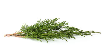 Fresh twig of juniper. Royalty Free Stock Image