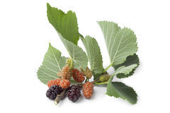 Fresh twig with mulberries Stock Photos