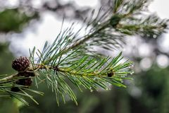 Fresh twig of the pine tree in a spring. Royalty Free Stock Photos