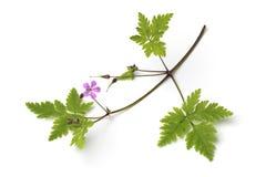 Twig of Roberts geranium. Fresh twig of Roberts geranium, herb Robert,, isolated on white background royalty free stock image