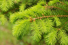 Fresh twigs of the pine tree. Royalty Free Stock Photography