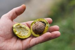 Fresh Uncleaned green walnuts in the hands of a farmer. Fresh Uncleaned green walnuts in the hands of a male farmer, close-up royalty free stock images