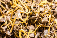 Fresh uncooked chanterelle mushrooms for seasonal fall vegetables at market. Display of fresh uncooked chanterelle mushrooms for seasonal fall vegetables at the Royalty Free Stock Photos