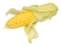 Fresh Uncooked Sweet Corn Cob Royalty Free Stock Images