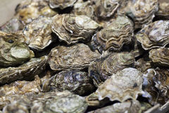 Fresh unopened oysters on display Royalty Free Stock Photography
