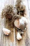 Fresh unpeeled garlic Royalty Free Stock Photo