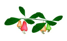 Fresh Unripe Cashew Nut on A Plant Royalty Free Stock Photography