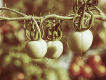 Fresh unripe green tomatoes hanging on the vine of a tomato plant royalty free stock images