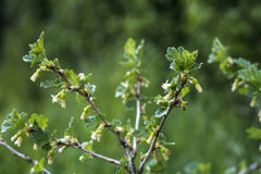 Fresh unripe growing young gooseberries on branch of gooseberry bush in the fruit garden organic growing Stock Images