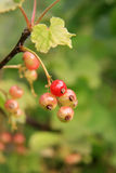 Fresh unripe red currant berries Royalty Free Stock Images