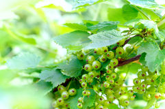Fresh unripe red currant berries on the branch, Royalty Free Stock Photography