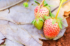 Fresh unripe strawberry with green leaves on seedbed in the plantation royalty free stock photography