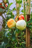 Fresh unripe tomatoes hanging on the vine of a tomato tree in the garden. royalty free stock photography