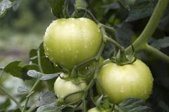 Fresh unripe tomatoes,with water drops Royalty Free Stock Photography