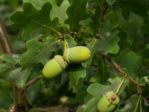 Fresh unriped green acorns on the twigs Stock Photo