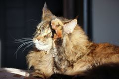 Fresh up cat . washes face. Sunny weather, Maincoon big cat. Colored cat on the sofa. Freshen up stock images