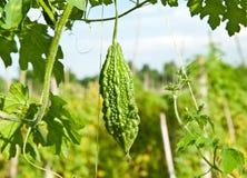 Fresh vegetable in farm. Stock Images