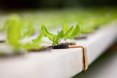 Fresh Vegetable in Farm. Fresh Vegetable in Hydroponics Farm Stock Photography