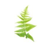 Fresh vegetable fern leaf or paco fern leaf on white background Royalty Free Stock Photos