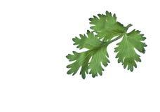 Fresh vegetable leaf. On white background Stock Photos