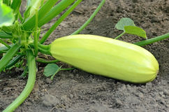 Fresh vegetable marrow Stock Photos